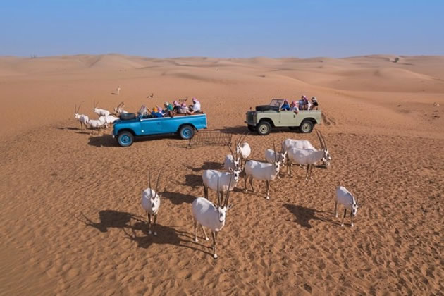 Vintage Land Rovers in Dubai among a herd of wild goats.