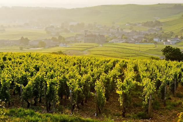 Vineyards in Burgundy, France on an overcast day.
