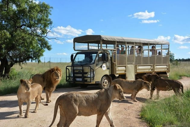 Lions surround a tour vehicle in South Africa.