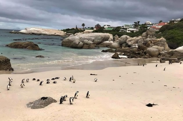 Penguins entering the ocean at the Cape of Good Hope in South Africa.