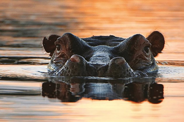 Hippo looks above the water at Pilanesburg Nature Preserve outside Johannesburg.