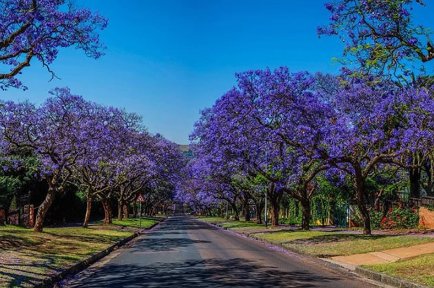 Purple trees line an avenue in Pretoria.