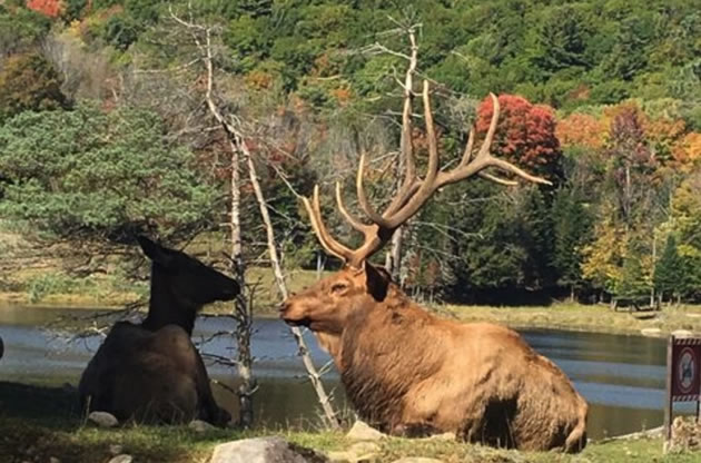 A moose sits near a river bank in Omega Park in Canada.