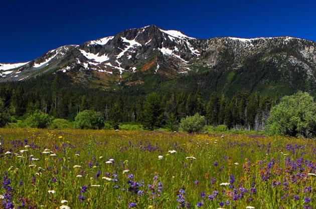 Wildflowers in a meadow beside Mount Tallac near Lake Tahow.
