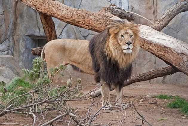 Male lion amid natural fauna at San Diego Zoo.