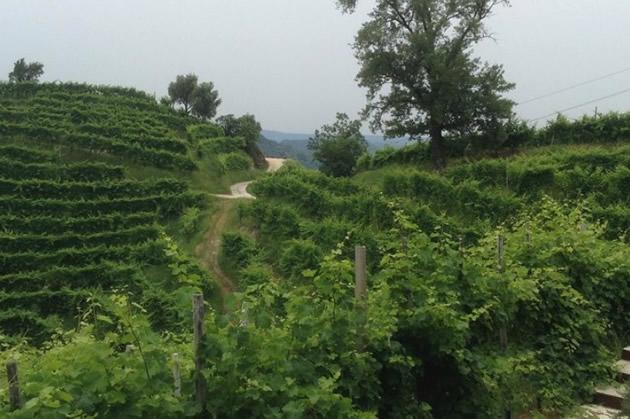 Terraced hillside of grape vines.